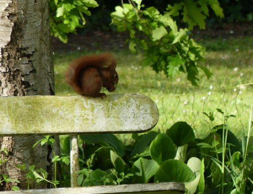 A squirrel resident in the garden